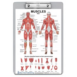 Muscle Anatomy Female and Male Dry Erase Clipboard two sided skeletal