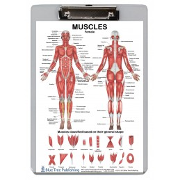 Muscle Anatomy for Female and Male Dry Erase Clipboard