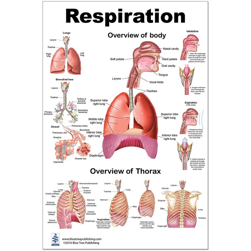 Respiration Regular Poster