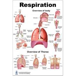 Respiration Medium Poster