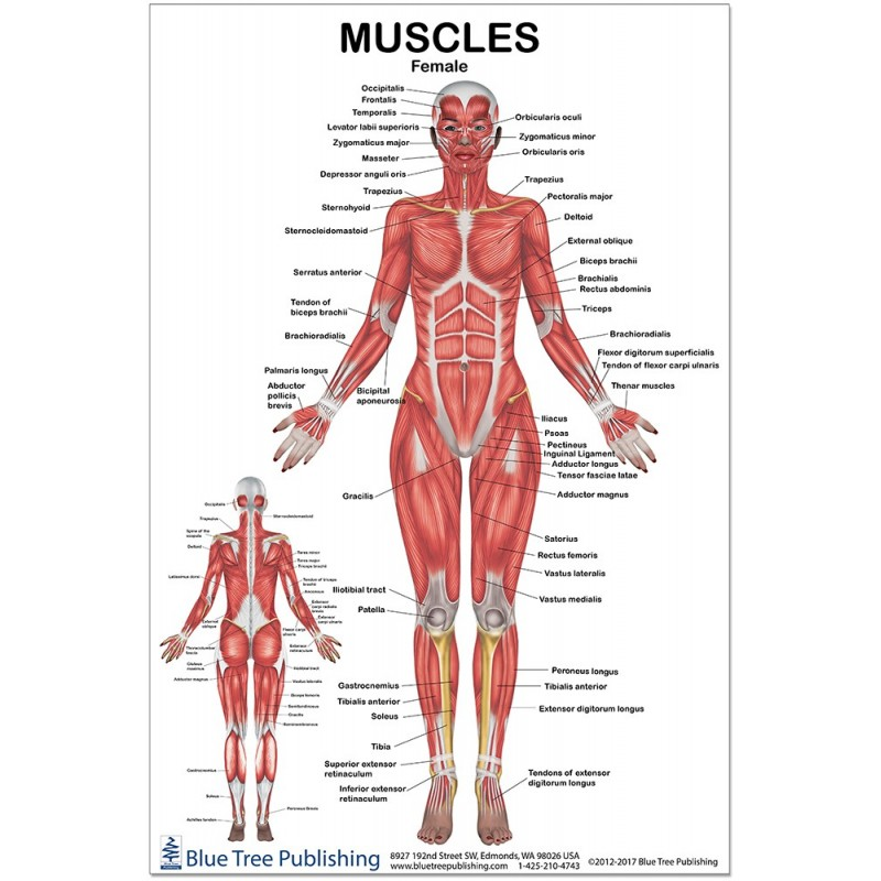 Muscles Female Medium Poster