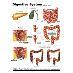 Digestive System Anatomical Chart back