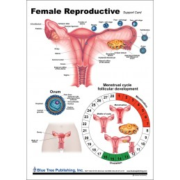 Female Reproductive Anatomical Chart front