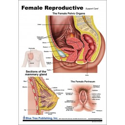 Female Reproductive Anatomical Chart back
