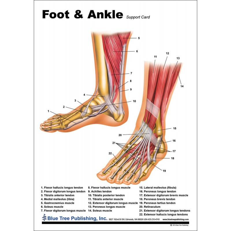 Foot and Ankle Anatomical Chart front