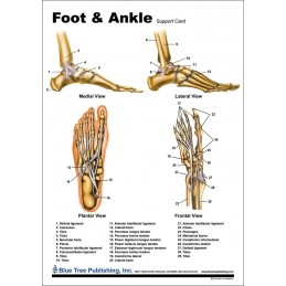 Foot and Ankle Anatomical Chart back
