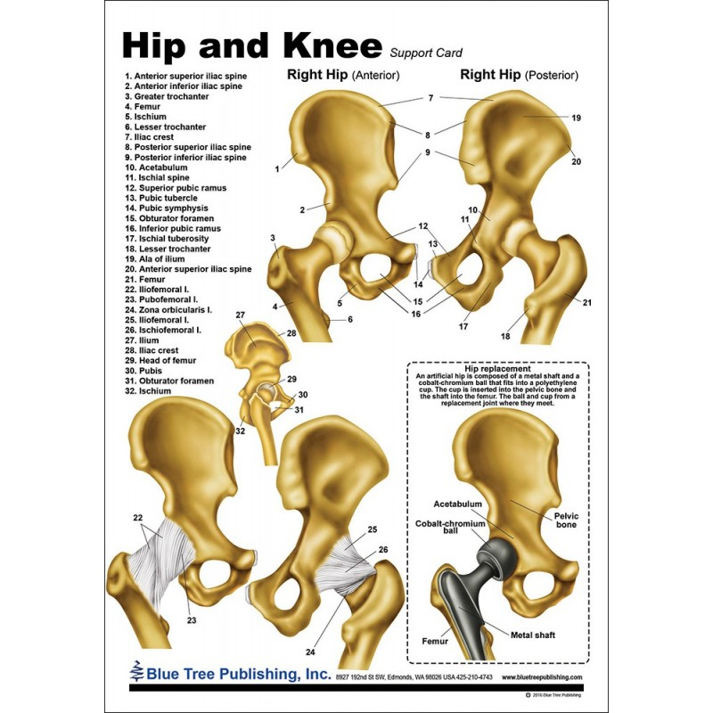 Hip and Knee Anatomical Chart front