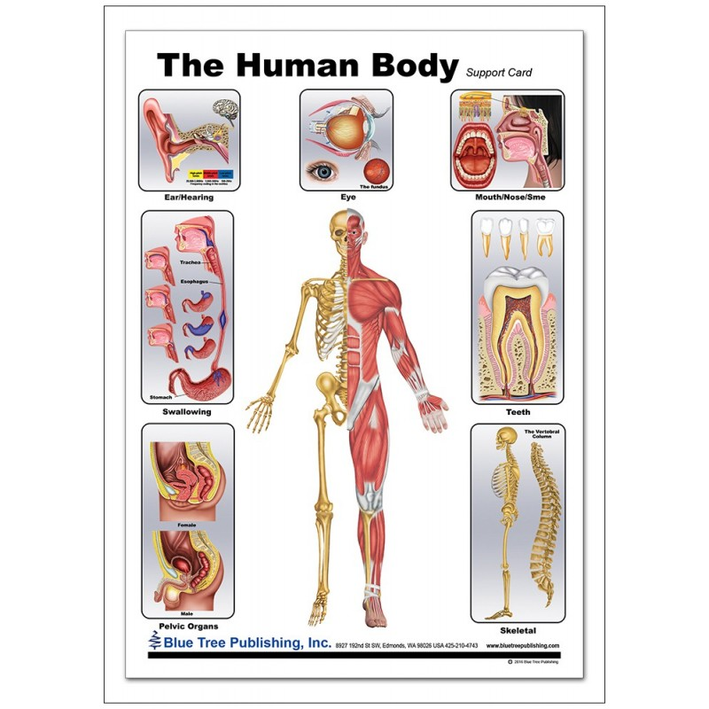 Human Body Anatomical Chart front