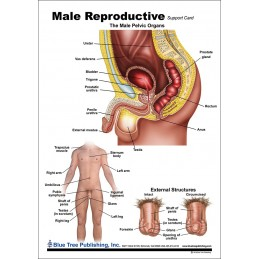 Male Reproductive Anatomical Chart front