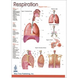 Respiration Anatomical Chart front