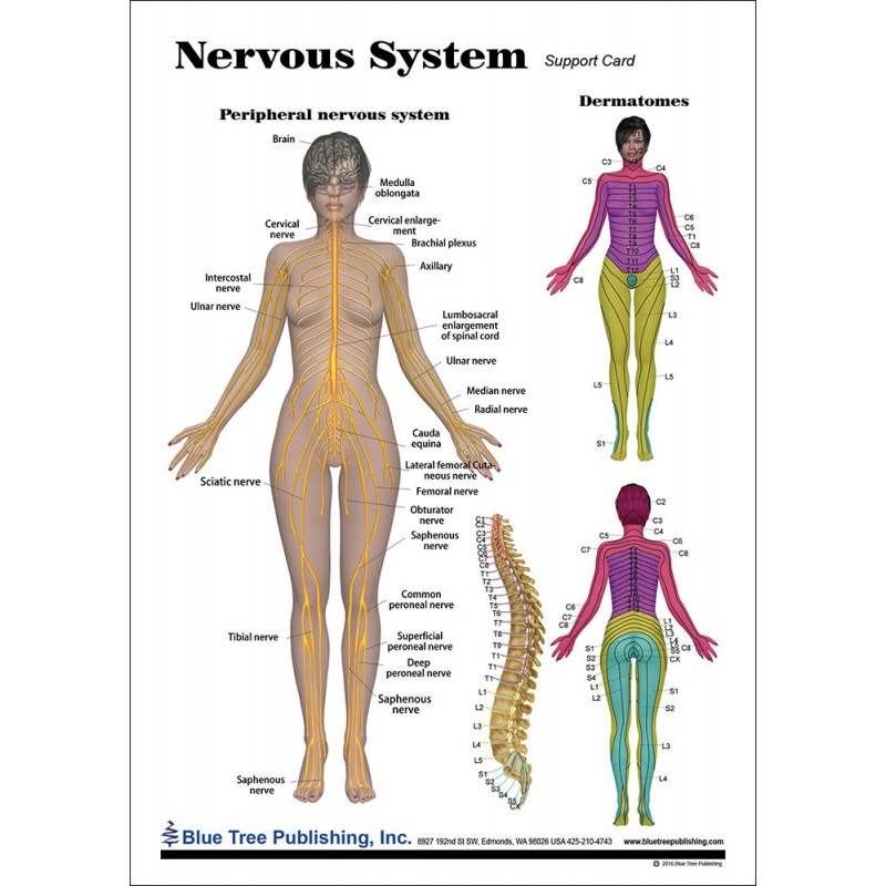 Nervous System Anatomical Chart front