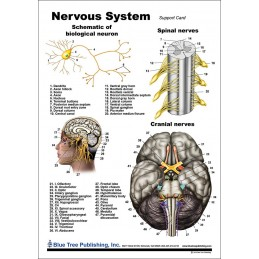 Nervous System Anatomical Chart back