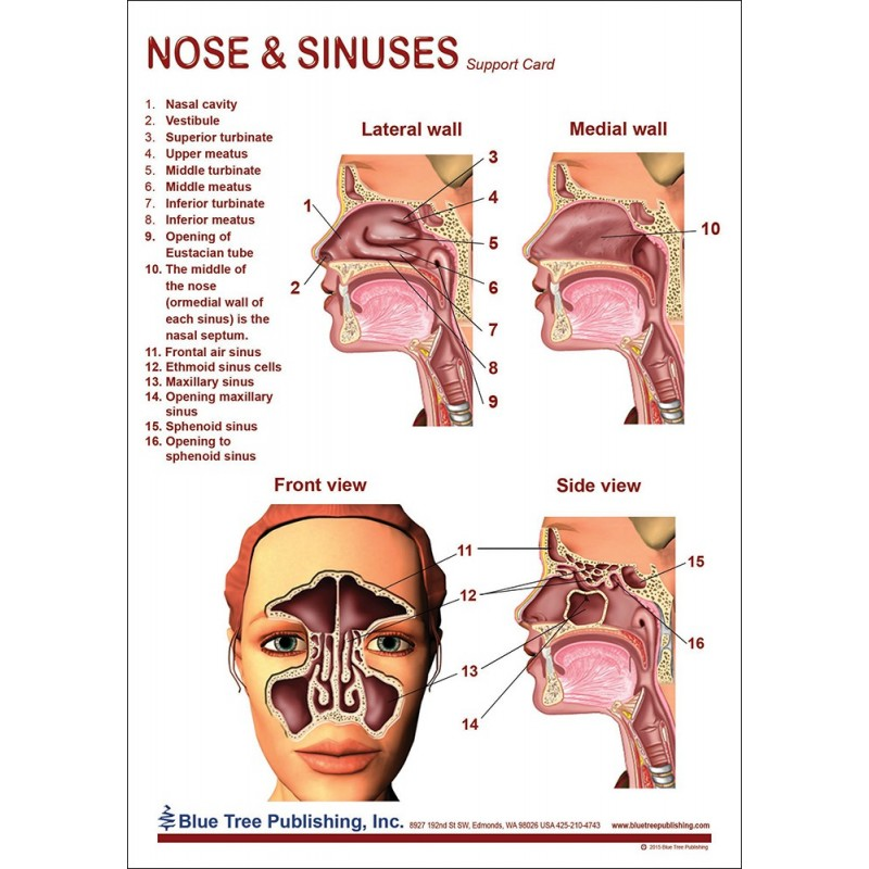 Nose and Sinuses Anatomical Chart front