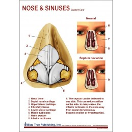 Nose and Sinuses Anatomical Chart back