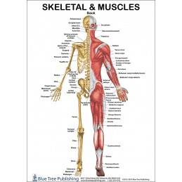 Skeletal and Muscles Anatomical Chart back