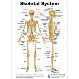 Skeletal System Anatomical Chart front