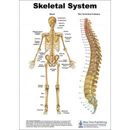 Skeletal System Anatomical Chart back