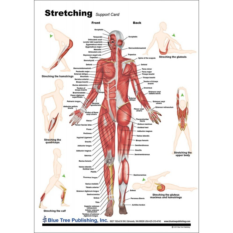 Stretching Anatomical Chart front