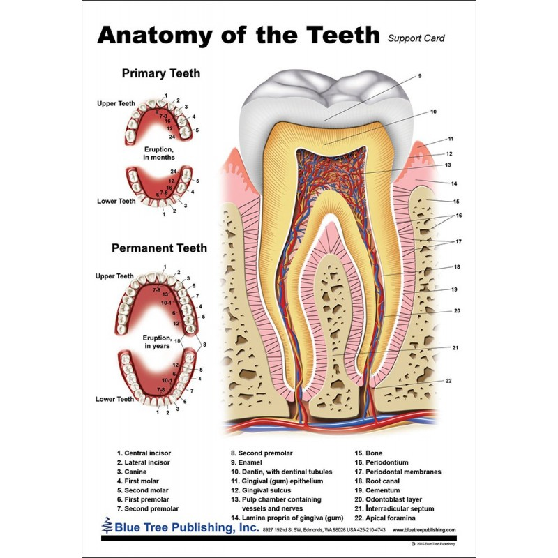 Teeth Anatomical Chart front