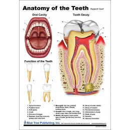 Teeth Anatomical Chart back