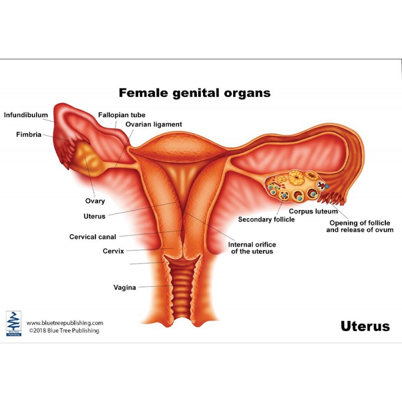 Uterus Anatomical Chart front