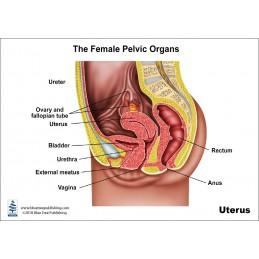 Uterus Anatomical Chart back