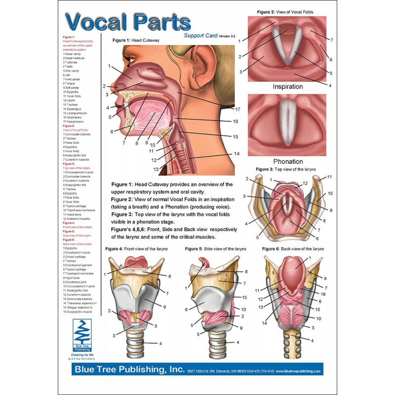 Vocal Parts, Pharynx & Larynx Anatomical Chart front