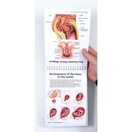 Female Anatomy Flip Chart fetus development and pelvic organs view