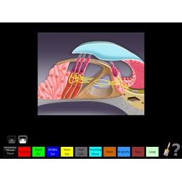 Hearing Anatomy Health Fair Mobile App hair cell animation