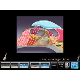 Inner Ear ID Mobile App Organ of Corti