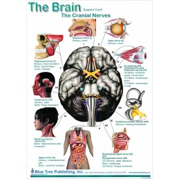 Brain and Brain Disorders Anatomical Chart brain card 2, side 2