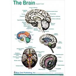 Brain and Brain Disorders Anatomical Chart brain bard 1, side 2