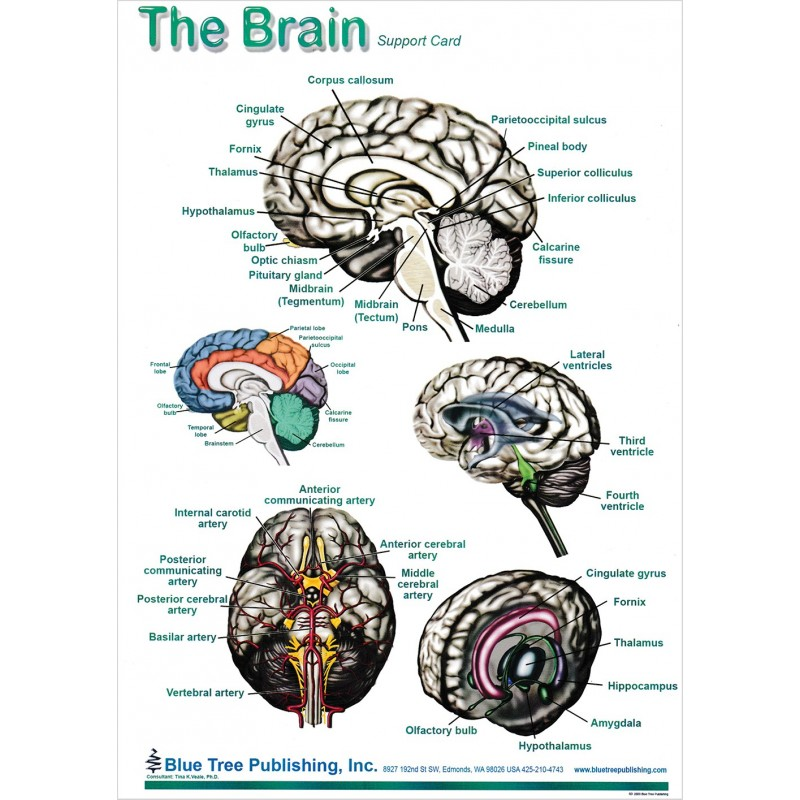 Brain and Brain Disorders Anatomical Chart brain bard 1, side 2