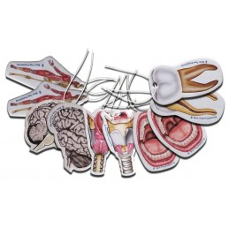 Anatomy Air Freshener Set 10 pack