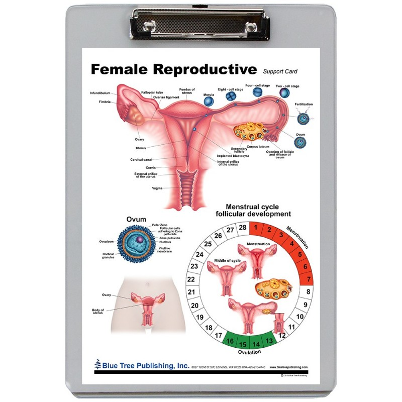 Female Reproduction Dry Erase Clipboard front