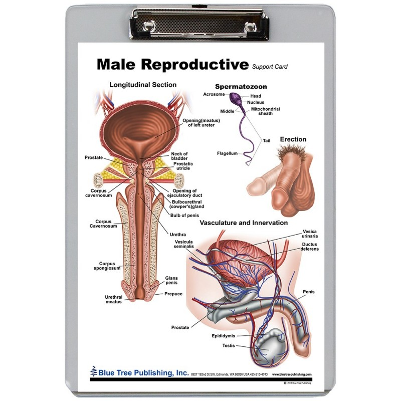 Male Reproduction Dry Erase Clipboard front