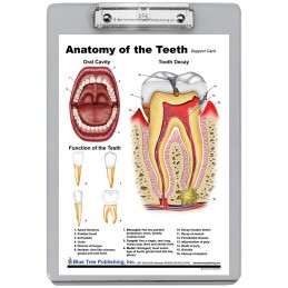 Teeth Anatomy Dry Erase Clipboard back