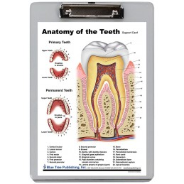 Teeth Anatomy Dry Erase Clipboard front