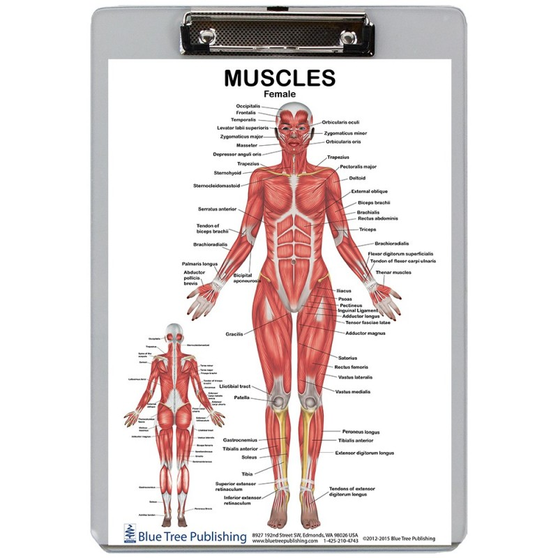 Muscle Anatomy for Female and Male 2 Dry Erase Clipboard front