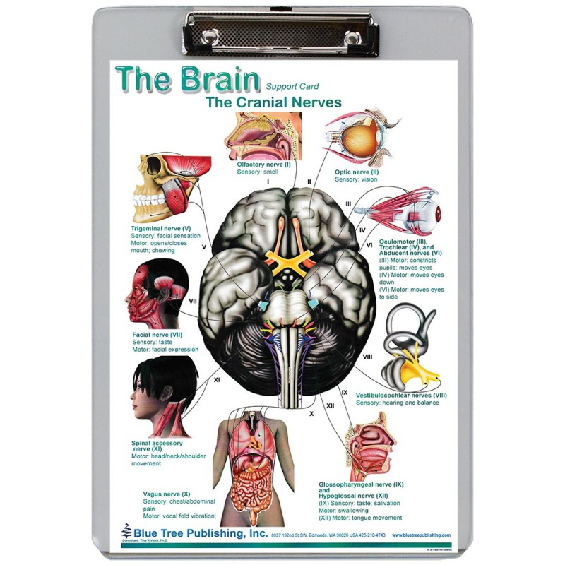 Brain Cranial Nerves Pathways Dry Erase Clipboard front