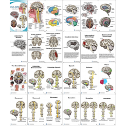 Brain Anatomy Pocket Charts contents