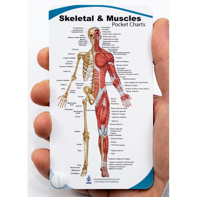 Skeletal & Muscles Anatomy Pocket Charts