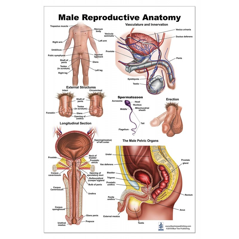 Male Reproductive Large Poster