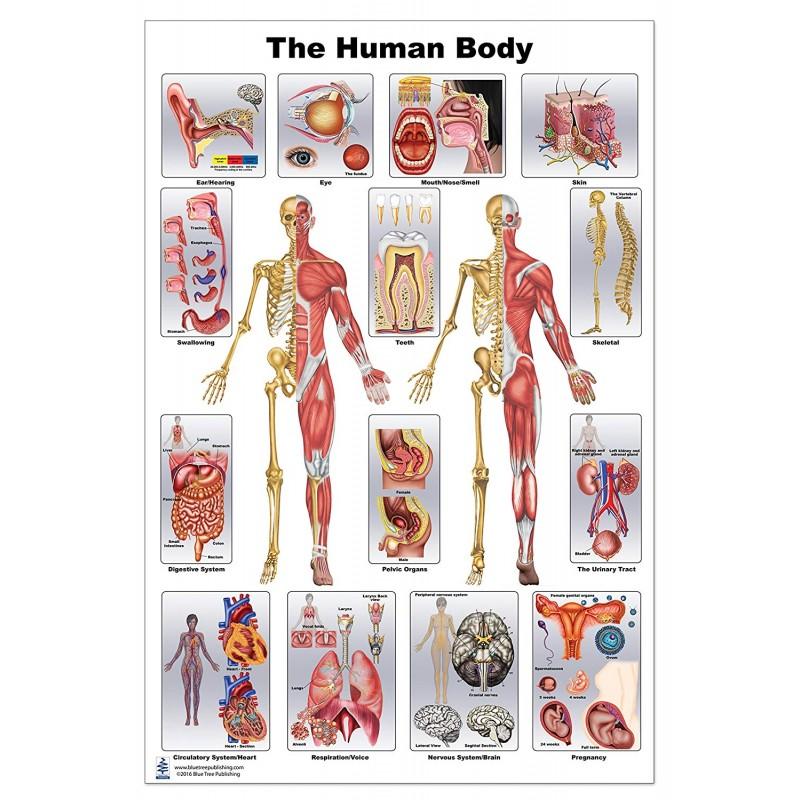 Human Body Anatomy Large Poster