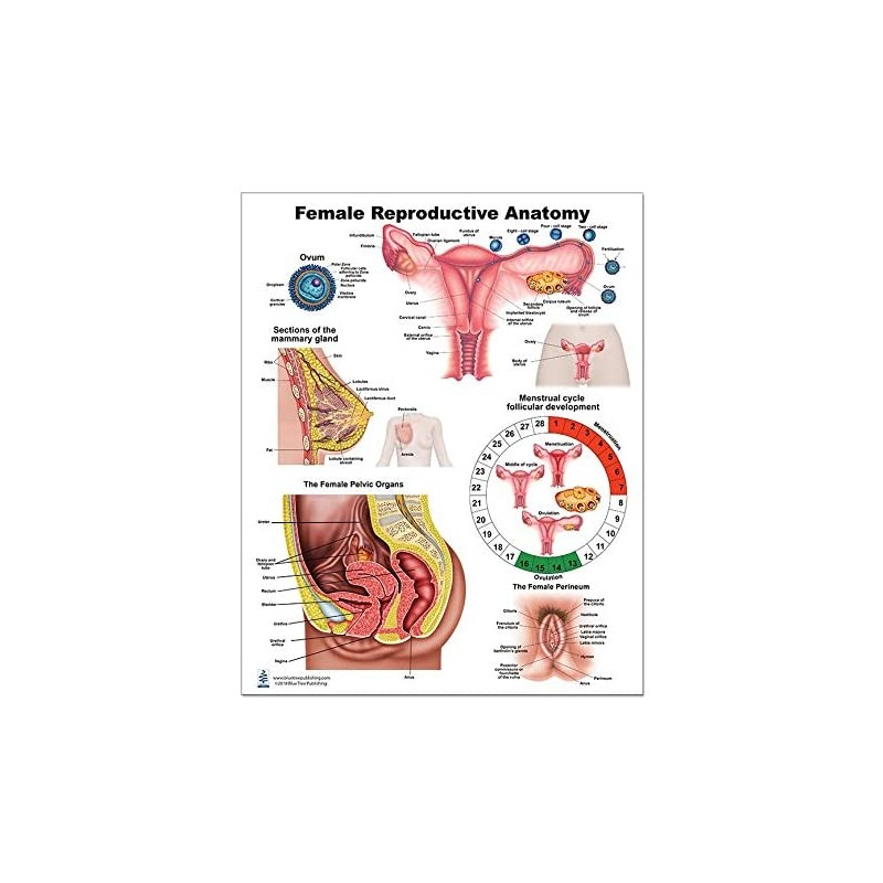 Female Anatomy Regular Poster