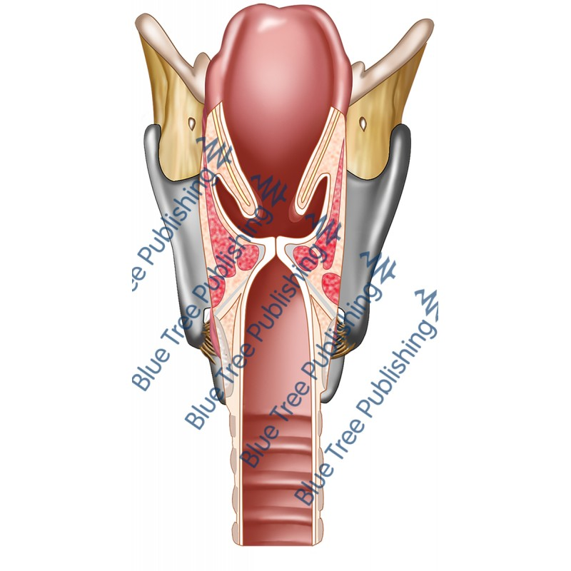Larynx Back Cut View - Download Image