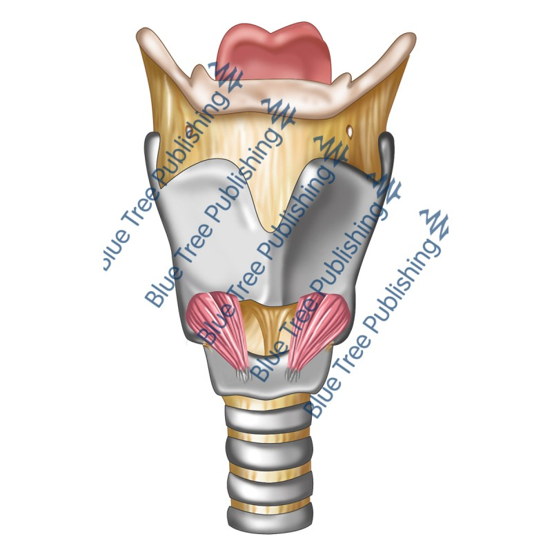 Larynx Front View - Download Image