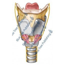 Larynx Front Nerves View - Download Image
