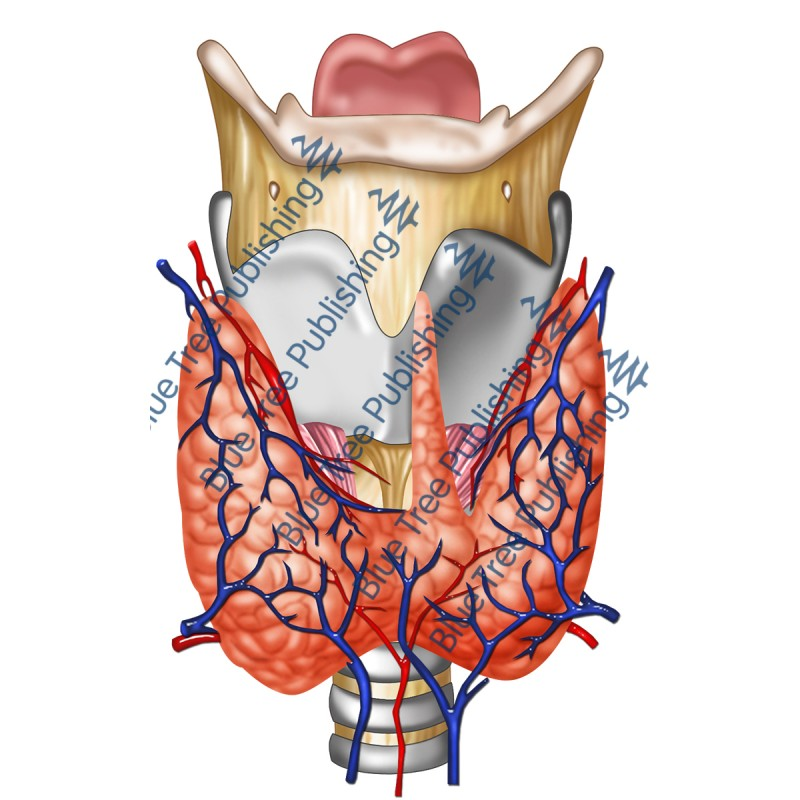 Larynx Front Nerve Thyroid Blood View - Download Image
