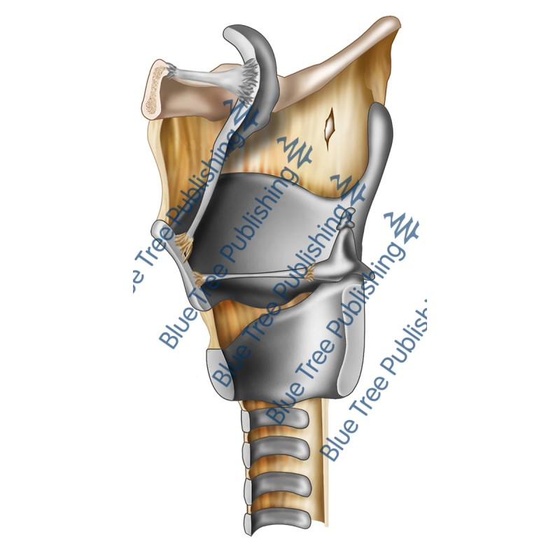 Larynx Cartilage Side Cut View - Download Image